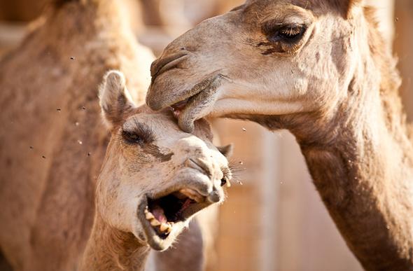 Dubai camels