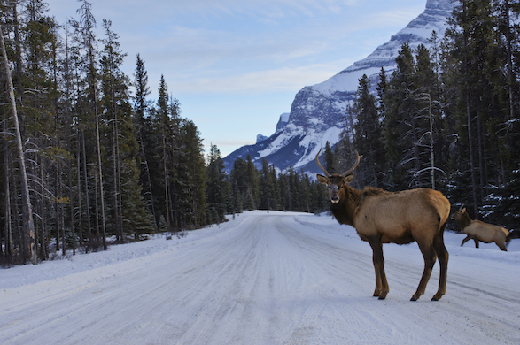 Elk along an icy roadway in Canada.