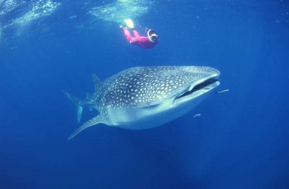Swimming With Whale Sharks In The Maldives