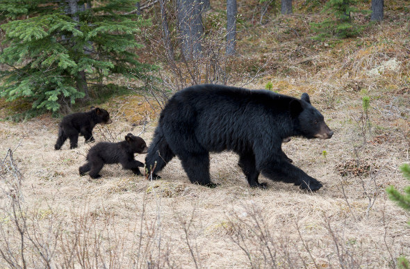 A black bear family in Jasper National Park