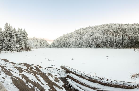 Lake Spruce