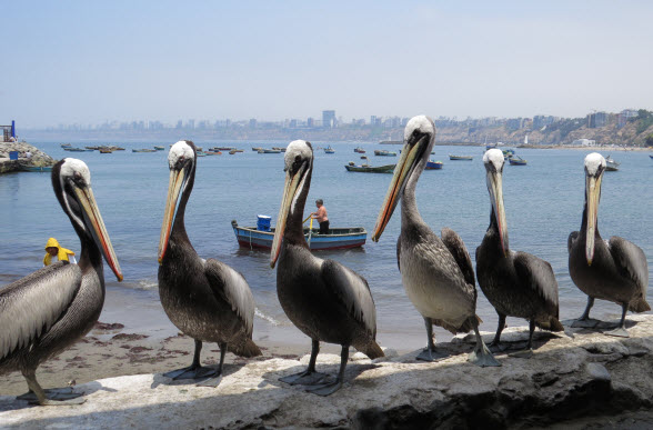 The view from the Chorrillos fish markets includes hopeful pelicans.