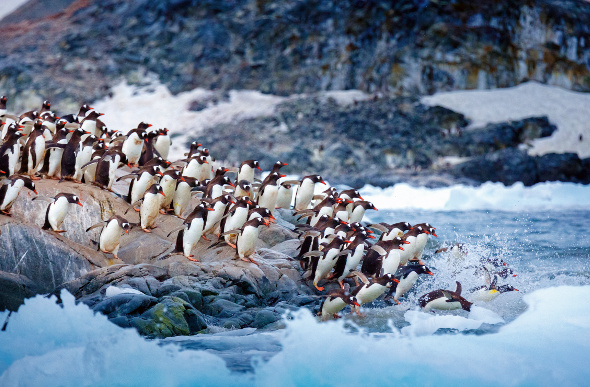 Gentoo penguins diving into the water