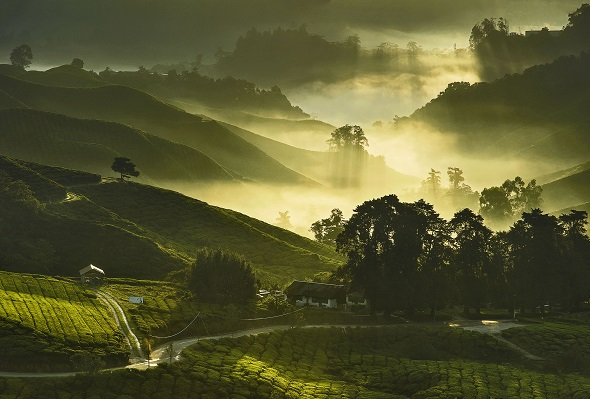Elevated view of tea plantations with mist and morning sunlight at Cameron Highland, Malaysia.