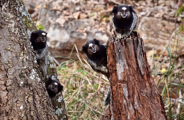 Little marmoset monkeys looking from tree trunks