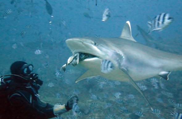A diver watches as a big shark grabs a few fish nearby.