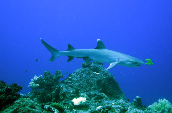 A white-tipped reef shark in Fiji.