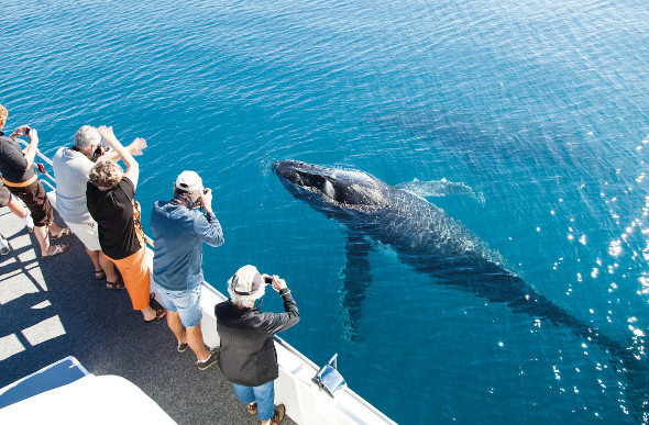 Passengers on a tour boat take photos as a baby humpback whale comes up to say hello at Hervey Bay.