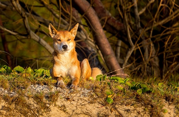 Dingo basking in a sunset on Fraser Island.