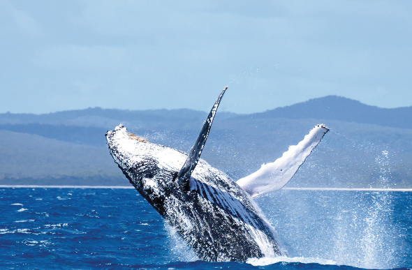 A Humpback Whale jumping out of water.