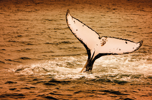 A whale tail rises above the surface as the sun sets at Hervey Bay.