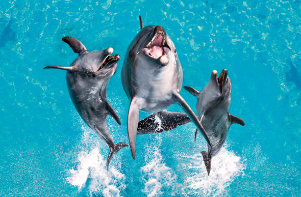 Dolphins make a splash at Sea World on the Gold Coast.
