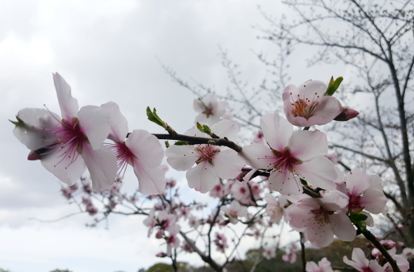 Seeking Sakura: The Search For Japan's Cherry Blossoms