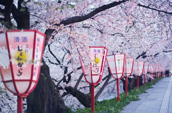 Japan's Blooming Beauty