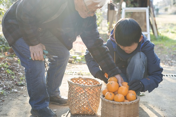 Grandfather and grandson are harvesting  fruits.
