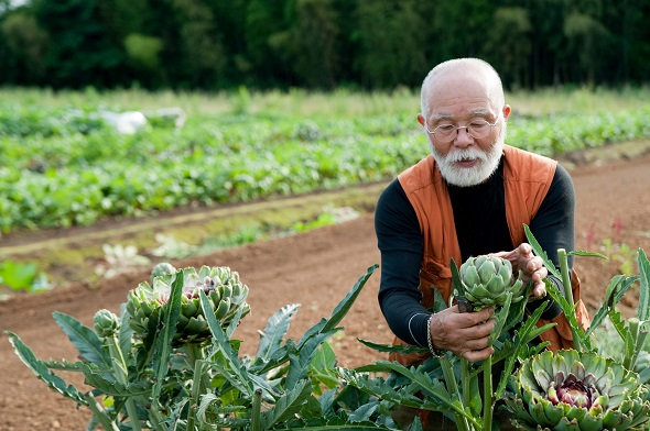 Senior man looking at artichoke in field.