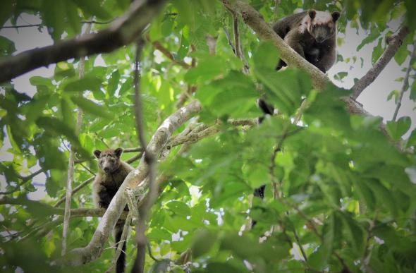 A rare Bennett's tree kangaroo in the Daintree Rainforest.