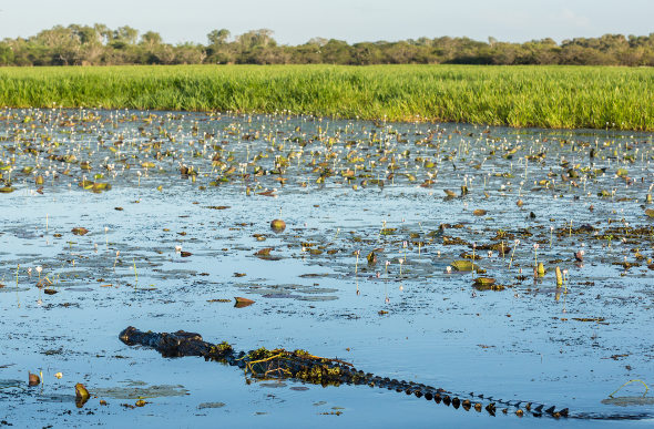 A crocodile surfaces at Kakadu National Park in the Northern Territory.