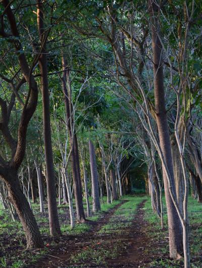 An avenue of trees at Kilohana Estate and Plantation on the Hawaiian Island of Kauai.