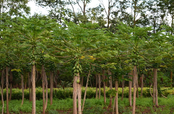 A stand of pawpaw trees at Kilohana Estate and Plantation on the Hawaiian Island of Kauai.