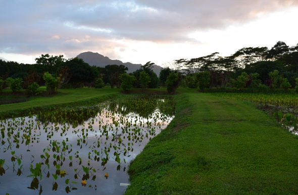 The sun sets over a taro crop at Kilohana Estate and Plantation on Kauai.