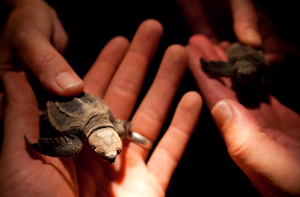 Mon Repos turtles