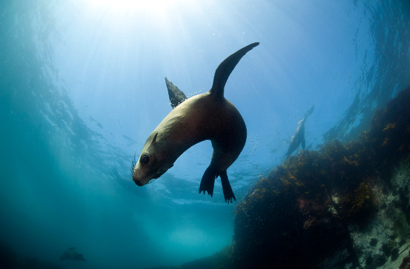 A seal frolics in the waters off Montague Island, New South Wales, Australia.