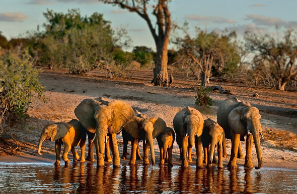 Elephants take a drink along Botswana's Chobe River. Picture: Getty Images