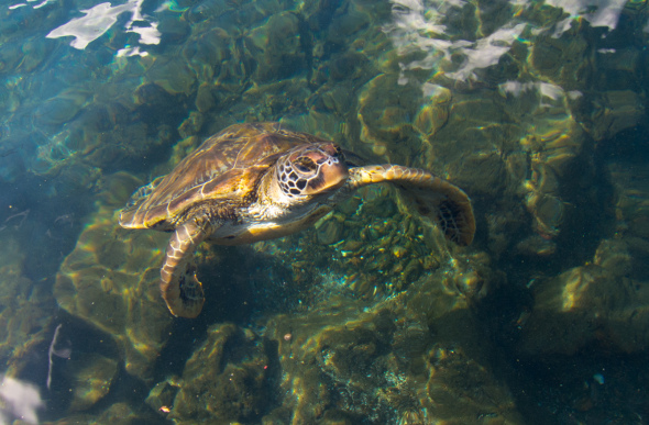 A little turtle swimming near the water's surface