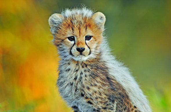 A cheetah cub in Africa.