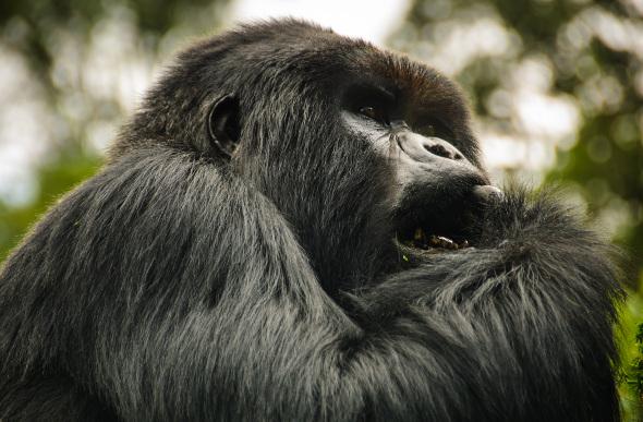 A silverback gorilla in the jungles of Rwanda.