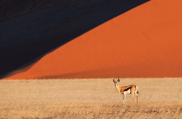 A gazelle in the Sossusvlei Dunes of the Namib Desert, Namibia.