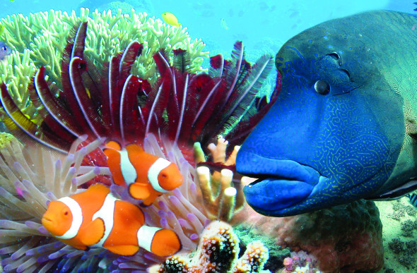 A clownfish and other colourful tropical fish dart among the coral at Hardy Reef in the Whitsundays.