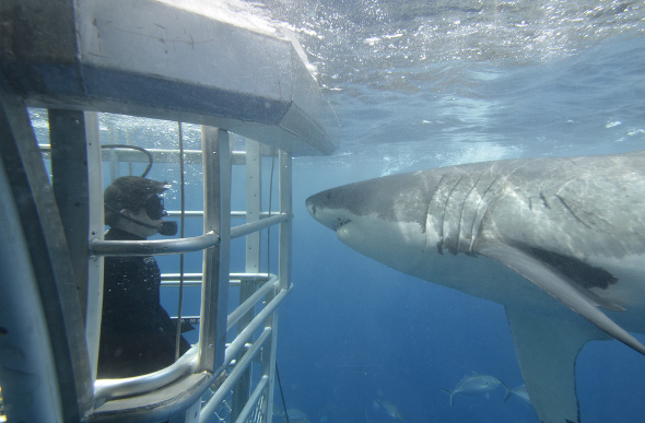 A great white shark and diver in a cage staring face to face