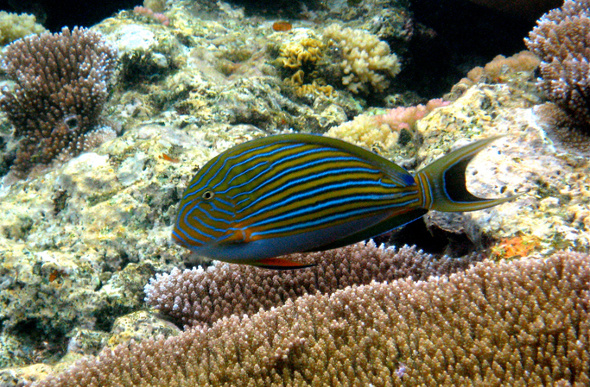 Striped surgeon fish on reef Samoa.