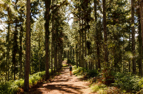 A hiker wanders among tall trees on Tahiti.