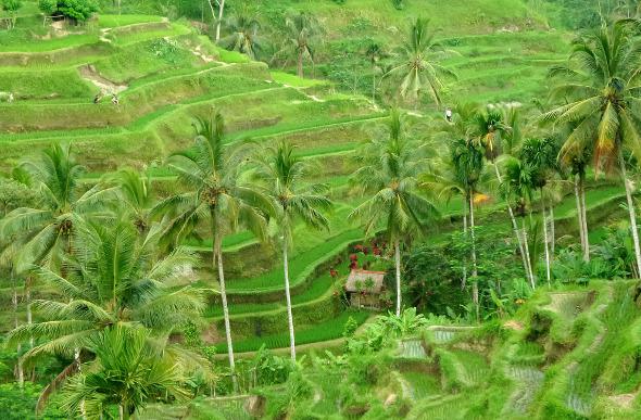 Terraced rice fields in Bali, Indonesia.