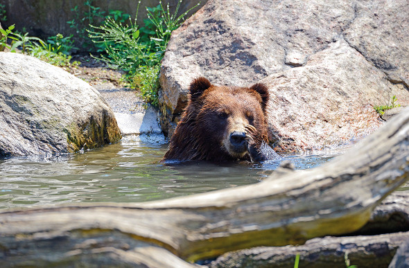 A black bear takes a dip.