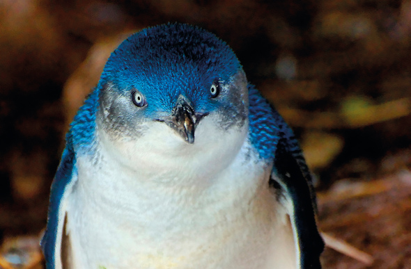 A little penguin with a shiny blue coat.