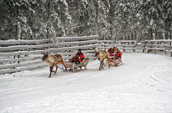 Two reindeer pull a sleigh in Finland.