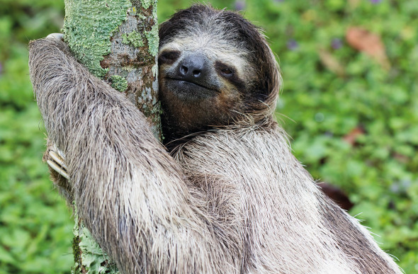 A sloth takes a breather in a tree.