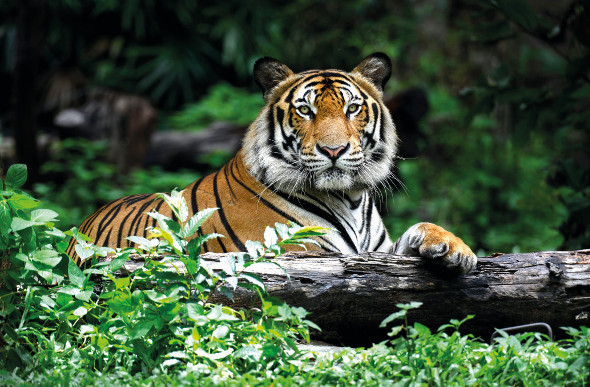 A regal-looking tiger rests on a log.