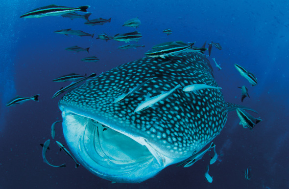 An enormous whale shark opens its mouth to feed.
