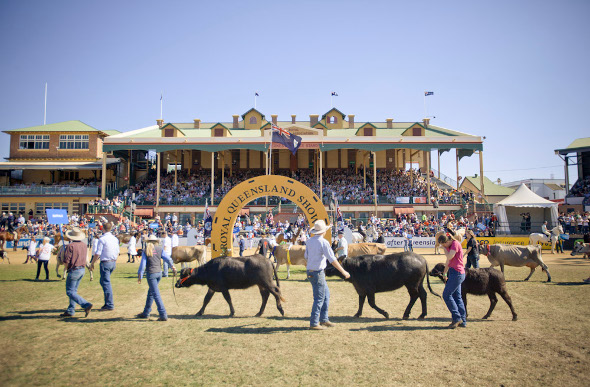 Cattle in competition at the Royal Queensland Show - aka The Ekka.