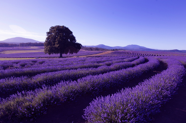 Daytime view overlooking rows of the flowering lavender plants