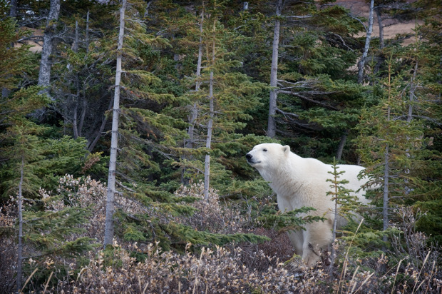 A polar bear walking through the forest
