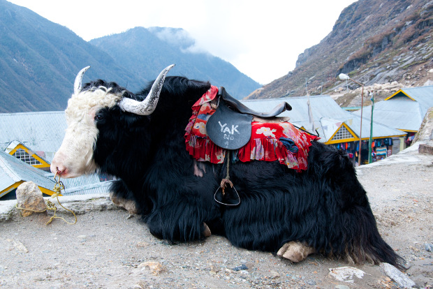 Yaks are used for transport in Sikkim.