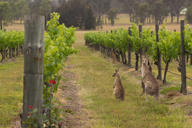 Two kangaroos among the vines of a Hunter Valley vineyard