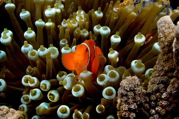 A clown fish in a sea anemone