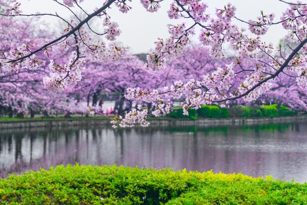 Ueno Park during cherry blossom season